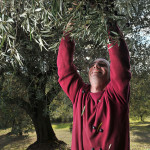picking-olive-local-farmer_ND3_8531