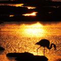 flamingos in cabras pond