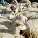 shepherd milink a sheep of his flock