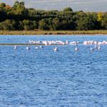 A flamingos colony in a lagoon of the Sinis peninsula