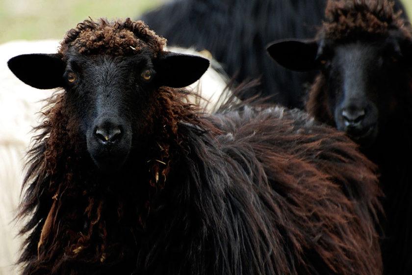 arbus black sheep